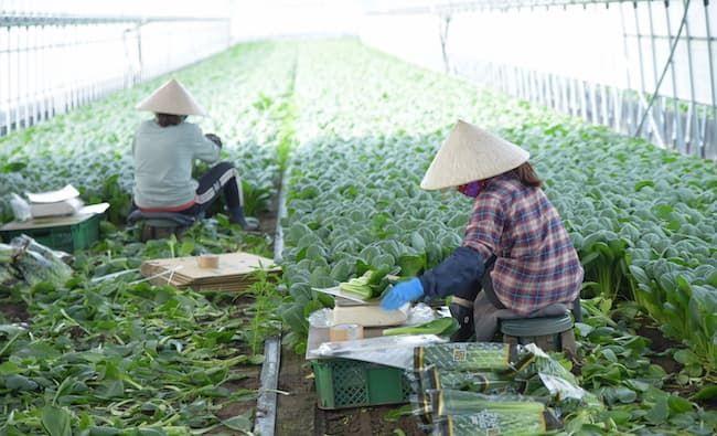 収穫作業をする海外研修生の様子