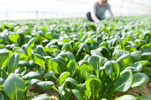 小松菜のハウス栽培 強い光と低い生育温度が硝酸イオンの還元速度を速める
