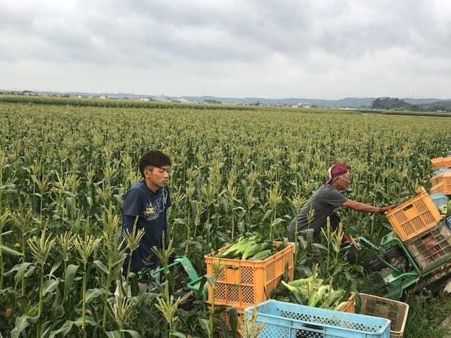 遠州森鈴木農園 とうもろこしの収穫の様子