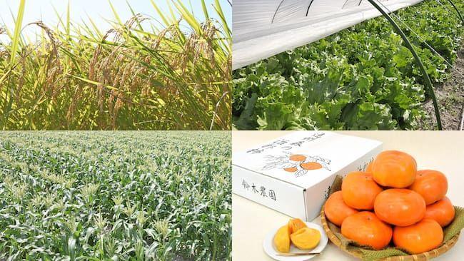 遠州森鈴木農園の生産品目 三毛作による水稲・レタス・とうもろこしと森町原産の治郎柿