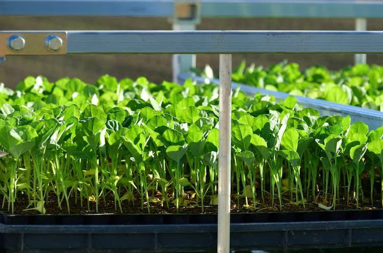 【ブロッコリーの育苗方法】徒長を防いで収量を上げる! 育苗のポイント