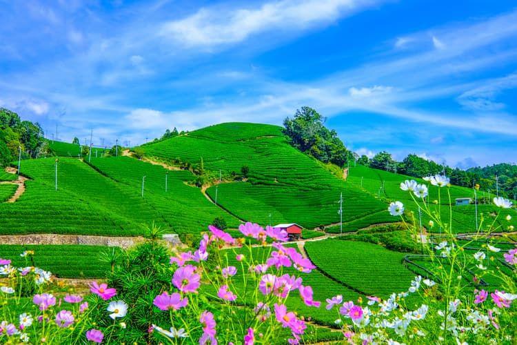 宇治茶畑の見学ツアーから学ぶ! 農家が消費者向け農業体験を実施するメリット