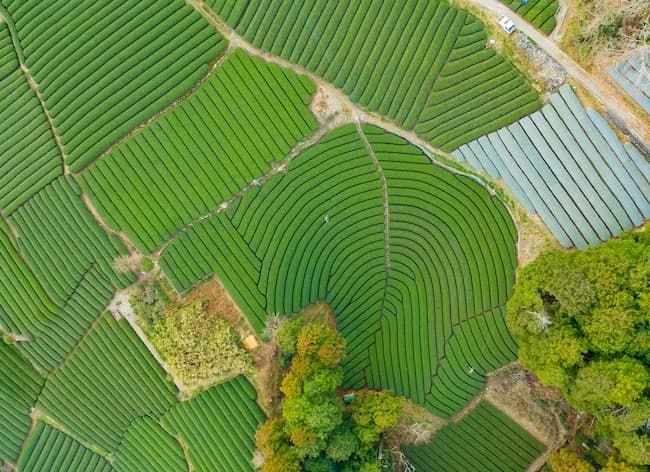 和束町の茶畑 ドローンによる空撮