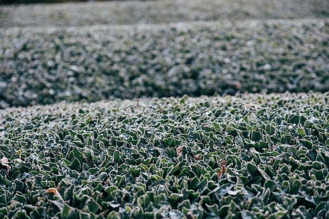 和束町 霜の降りた茶畑