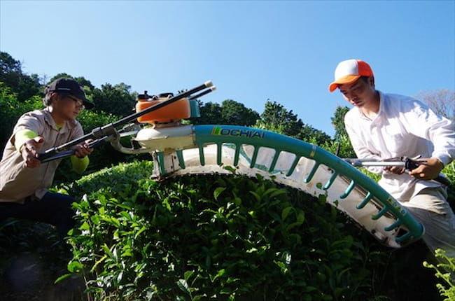 D-matcha株式会社は、茶の生産から販売までの一環経営