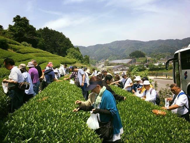 和束町の茶摘み体験