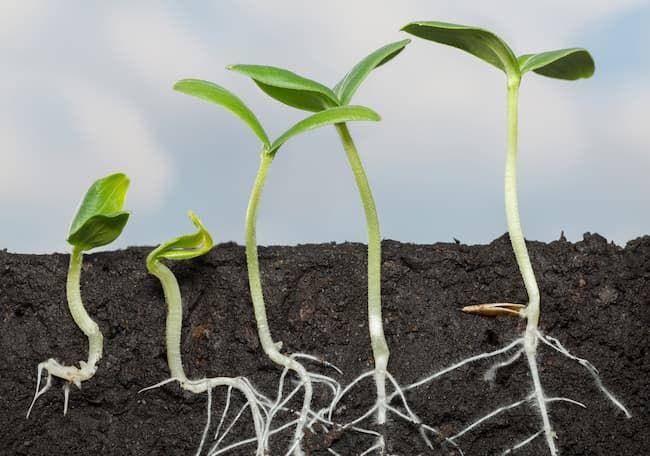 作物の発芽・発根