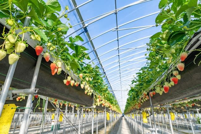 イチゴの養液栽培