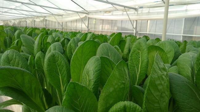 小松菜のハウス栽培