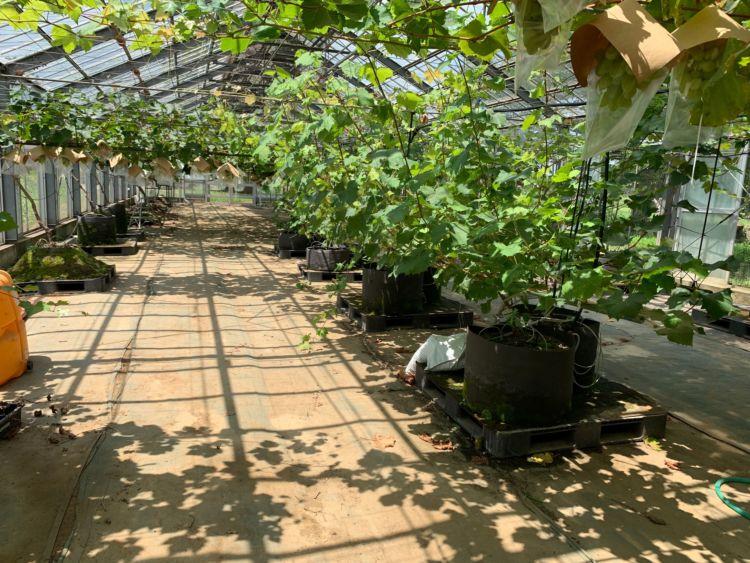 茨城県立農業大学校 ブドウ栽培ハウス