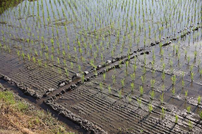 浅水管理によるスクミリンゴガイの耕種的防除
