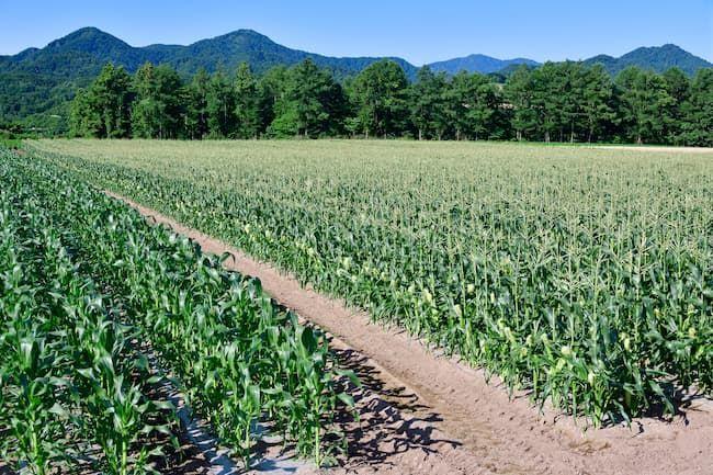 とうもろこしの害虫対策ではほ場周辺の除草を徹底することも重要