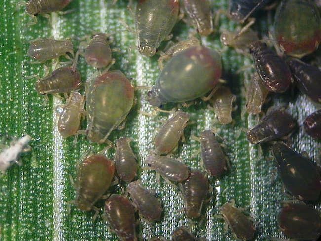 とうもろこしの葉に寄生したムギクビレアブラムシ 成虫(体長1.8mm)及び幼虫