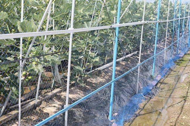 いちじくの露地栽培栽培に必要な資材としては棚や支柱・防風網などがある