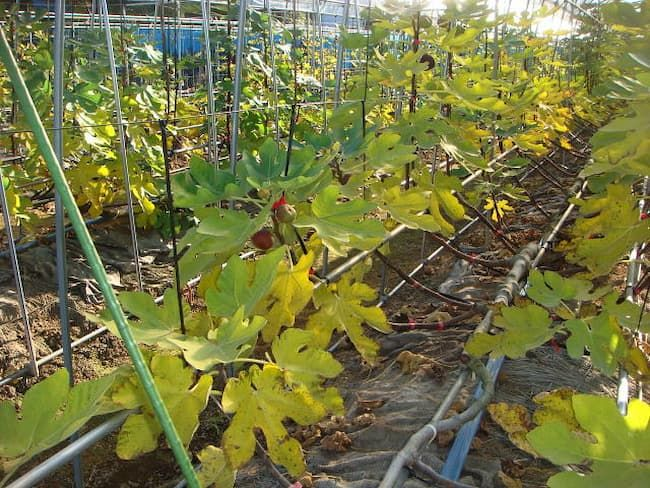 いちじくのネコブセンチュウ被害株 早期に葉が黄化する