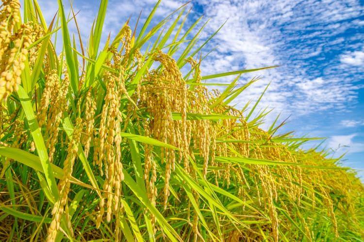 稲の病気(病害)|水稲栽培で注意すべき病害とは? 種類と原因、対策を一挙解説!