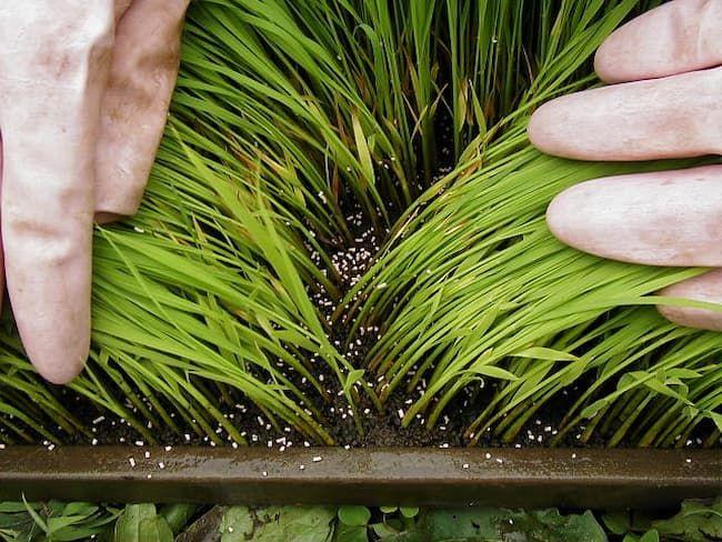育苗箱粒剤の施用