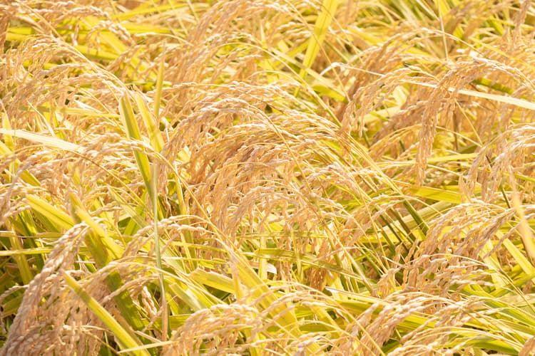 稲刈りに最適な時期はいつ? 適期収穫を実践するためのポイントと最新技術