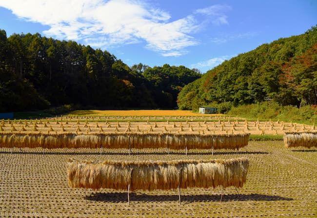 稲の自然乾燥 稲架(はさ)掛け