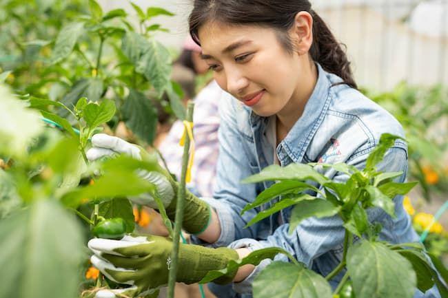 就農体験でピーマンの収穫をする女性