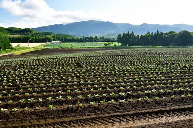 畝を高めに仕立てたキャベツのほ場