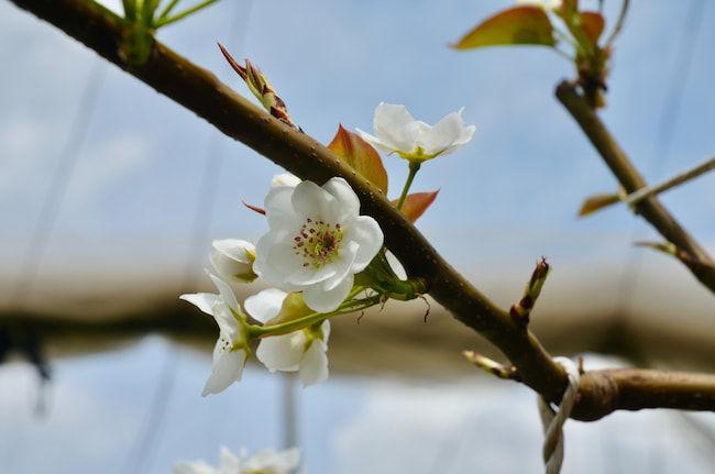 梨の花序。結実し出荷され収益をもたらすポテンシャルを持っている。