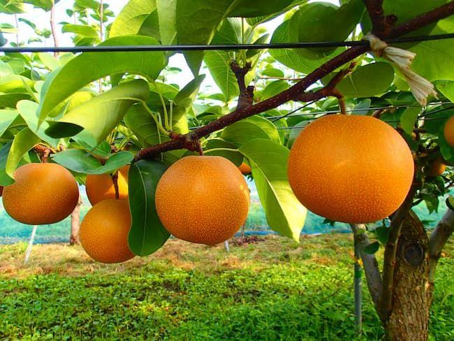 見事に実り出荷を待つ梨の果実