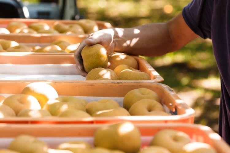 【2021最新】梨の新品種を一覧紹介! 食味や収量に優れ栽培しやすいのは?