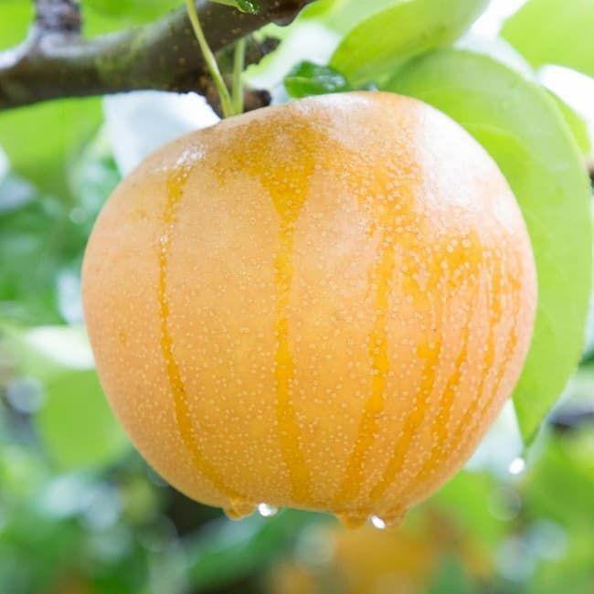栃木県のオリジナル品種「にっこり」