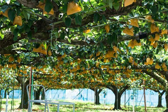 ジョイント方式の梨の園地(千葉県)