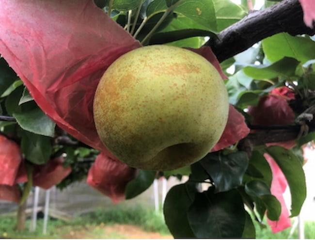 特徴的な外観の梨「秋麗」