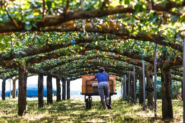収穫期の梨の園地