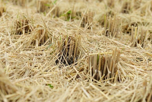 稲刈り後、切りわらに覆われた水田