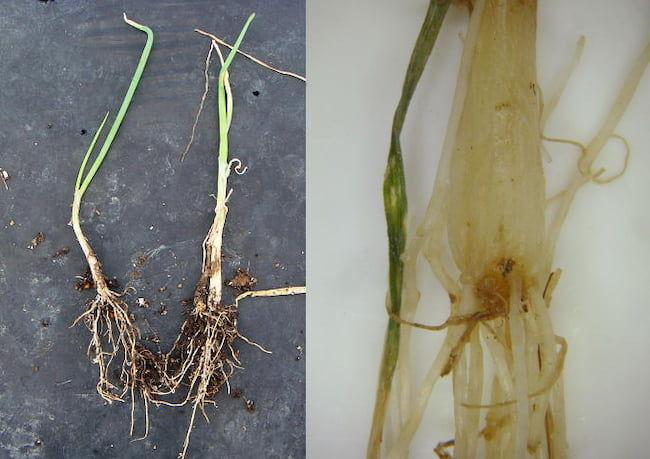 ネギ 萎凋病 発病株。下葉が湾曲、黄化、萎凋する(左)。茎盤部は褐変している(右)