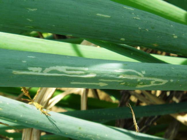 ネギハモグリバエ幼虫による食害痕