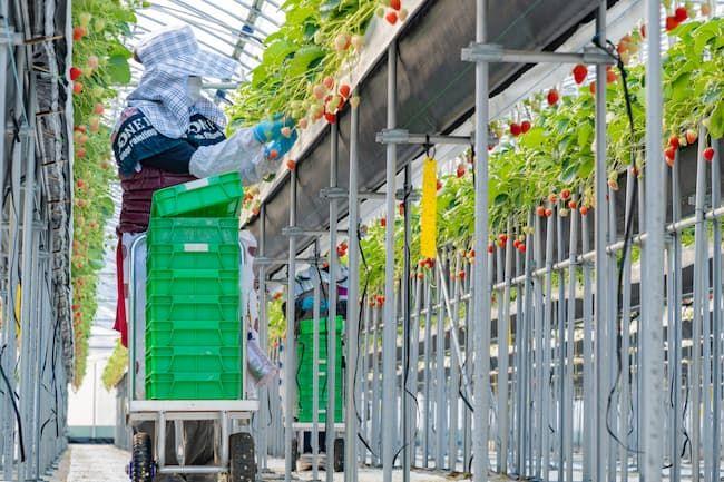二酸化炭素発生装置導入後の収量増を見越して収穫のための労働力を確保する