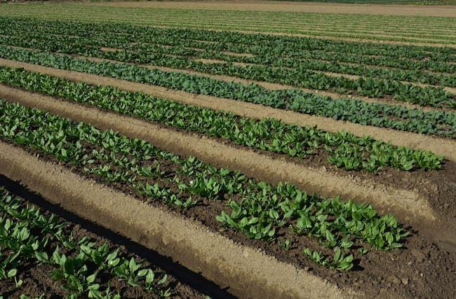 高めの畝に仕立てたほうれん草のほ場
