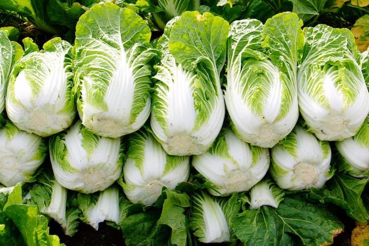 白菜の播種・定植・収穫時期や管理のポイントとは? 好適な栽培方法を解説